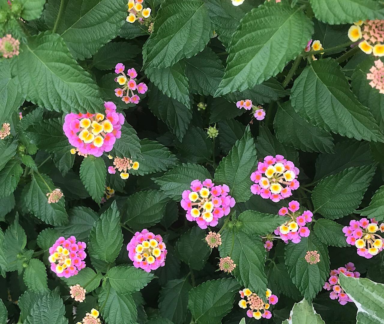 紫陽花ロードのランタナ