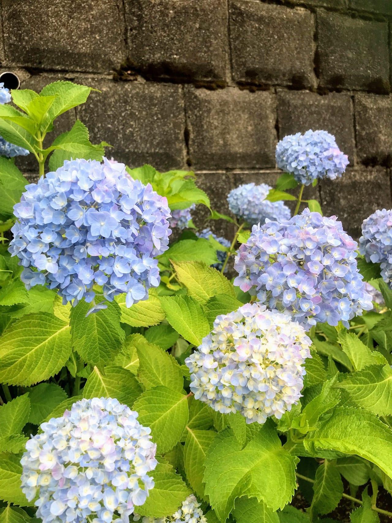 紫陽花ロードの青いあじさい