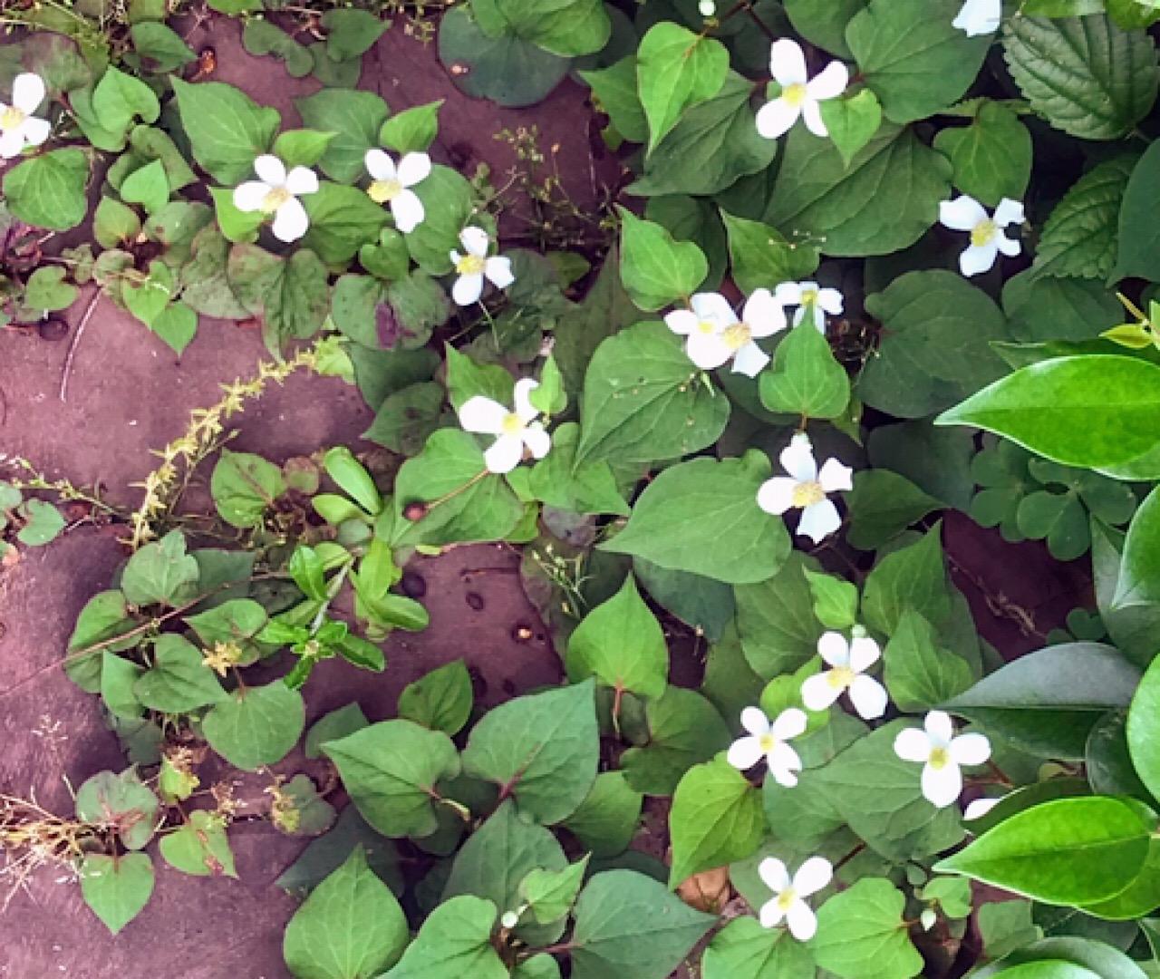 紫陽花ロードのドクダミの花
