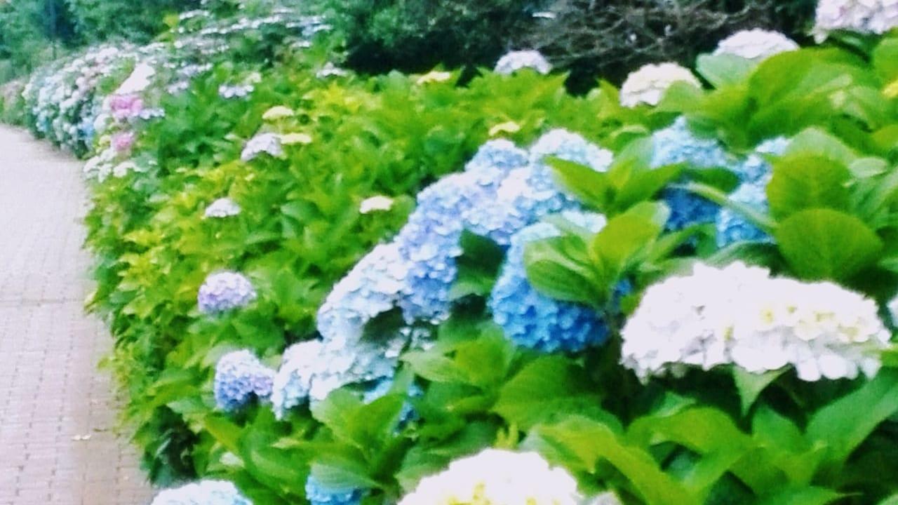 【保土ケ谷区峰沢町】超穴場*滝ノ川あじさいロード散歩+ステキな野菜直売所