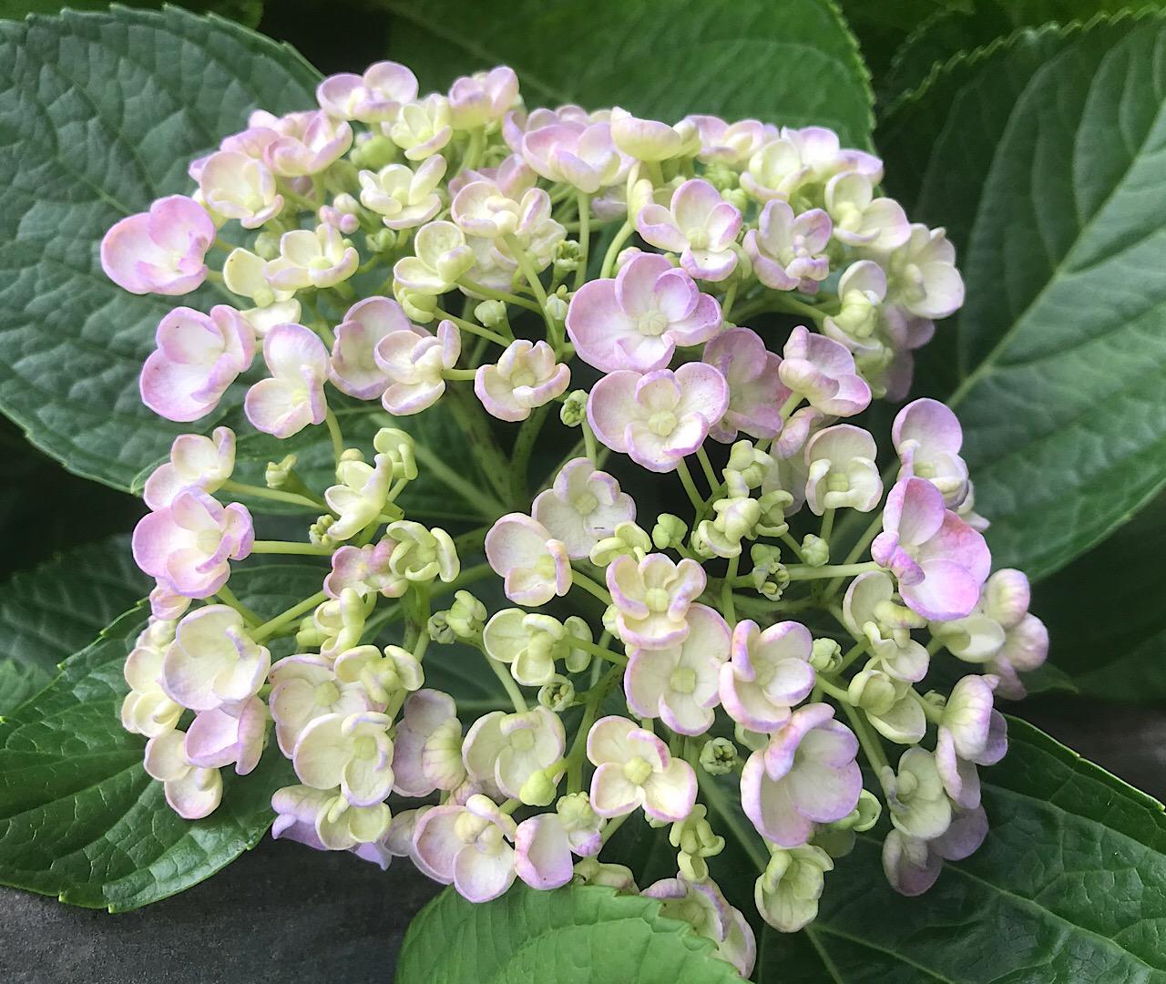 紫陽花ロードの新種ピンクあじさい