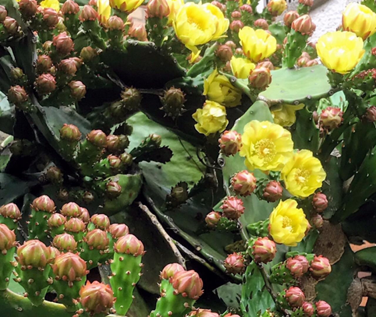 紫陽花ロードのウチワサボテン